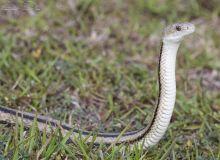 Eastern Rat Snake2